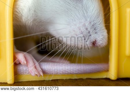Closeup Of Funny White Domestic Rat With Long Whiskers Sitting In Yellow Plastic Pet House.