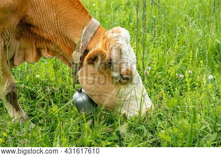 Close-up Of A Cow's Head With A Bell On Its Neck And The Ends Of Its Horns Cut Off. The Animal Is Ea