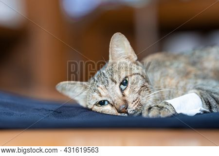 The Sick Cat Lay Weakly On The Blue Cloth, It Gaze Stared Out In Motion.