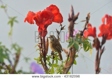 Canna indica and Northern Beardless-Tyrannulet
