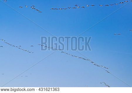 Migration Of Wild Geese In Early Spring At Sunrise On A Partly Sunny Day