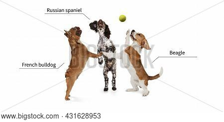 Three Beautiful Cute Purebred Dogs Playing With Tennis Ball Isolated Over White Studio Background. S