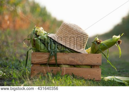 Closeup View At Wooden Crate With Sweet Corn Cobs And Straw Hat At Corn Field  Sunset Summer Time So