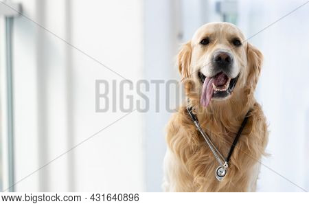 Golden retriever dog wearing stethoscope sitting in the room with daylight and posing. Cute pet doggy closeup portrait indoors with medical equipment