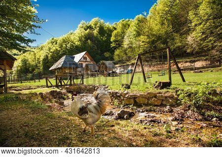 Rooster posing near cheerful mountain stream in beautiful bosnian mountains, Bjelasnica. Bosnia and Herzegovina.