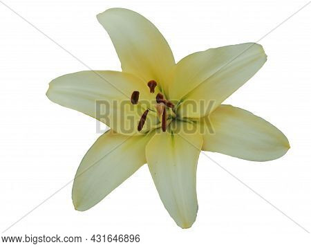 Single Large Lily Flower. A Flower With Large Petals. Isolated On White Background.