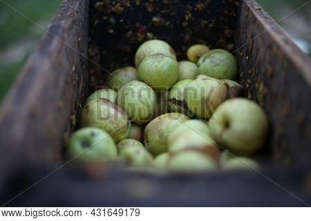 A Bunch Of Apples In The Fruit Grinder Machine, Fruits In Wooden Fruit Mill In Garden, Preparation F