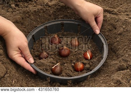 A Farmer Plants Tulip Bulbs. How To Plant Tulip Bulbs In The Open Ground In Autumn Or Spring. Top Vi