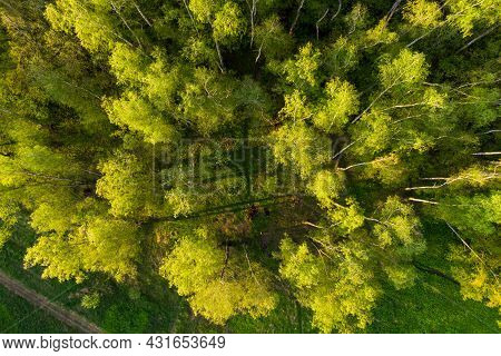 View Of The Crowns Of Birch Trees From Above From A Height, Flight Over A Birch Grove