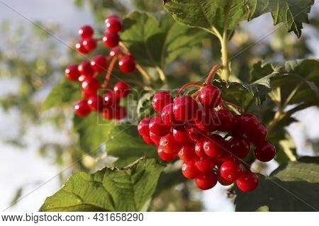 Nature Background. Arrow Wood. Red Ripe Viburnum Berries Hang On The Bush. Viburnum Bush