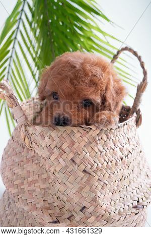 A Toy Poodle Puppy Sits In A Wicker Basket In Mens Hands.