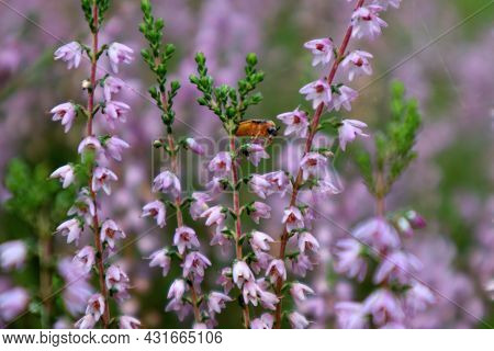 The Concept Of The Arrival Of Autumn Days. A Bright Insect Among The Flowering Branches Of The Heath