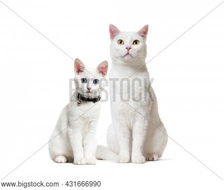 White kitten and adult crossbreed cat sitting. One wearing a collar. isolated on white