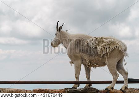 Mountain Goat Stands On Top Of A Ledge, Enjoying The Scenic View At The Summit Of Mt Evans Scenic By