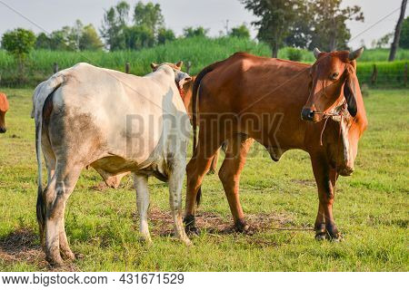 Close Up Portrait Of Cow In Farm Background. Cows Standing On The Ground With Farm Agriculture. Trad