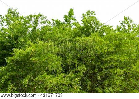 Bamboo Leaves Isolated On White Background, Design For Border, Include Clipping Path