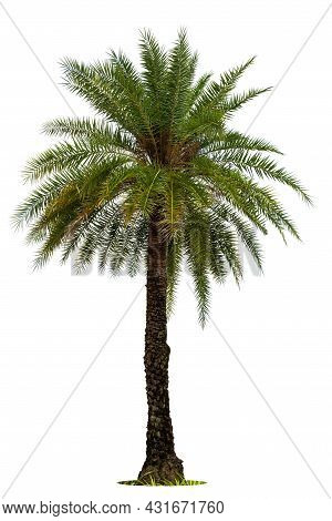 Green Beautiful Palm Tree Isolated On White Background.