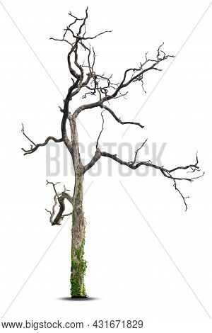 Dead Tree Isolated On A White Background, Clipping  Path.