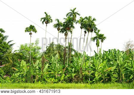 Group Of  Palm Oil Plantations,  Palm Garden,  Isolated On White Background.
