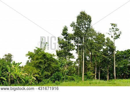 View Of A High Definition Treeline Isolated On A White Background, Tree Line Isolate On White Backgr