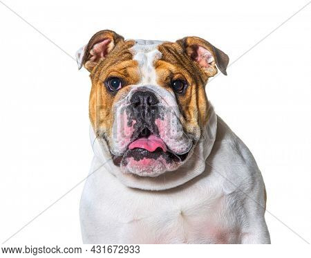 Panting brown and white english Bulldog head portrait in front of a white background
