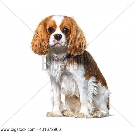 Cavalier King Charles Spaniel dog sitting in front, isolated