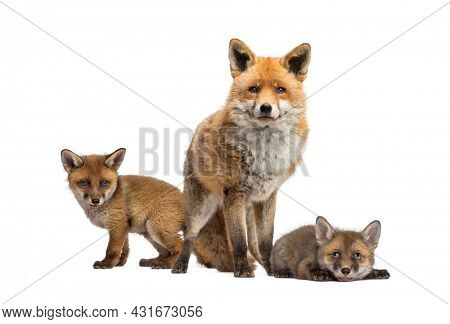 Seven weeks old fox cubs and they mother together, isolated on white
