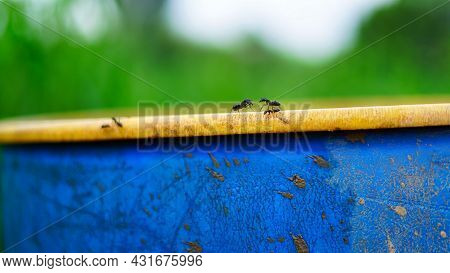 Selective Focus, Black Ants Photo Close Up Near The Water. Image Of A Group Of Ants Are Walking On A
