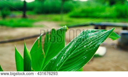 Canna Lily Leaves That Like Banana Leaf. Tropical Spring And Summer Leaves Background.