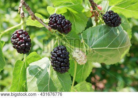 Ripe black mulberries fruits between green leaves on the tree.