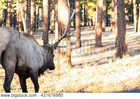 A Male Elk In Grand Canyon National Park, Arizona
