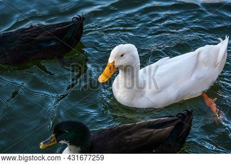 Different Breed Of Ducks In Yuma, Arizona