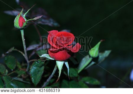 Art Photo Rose Petals Isolated On The Natural Blurred Background. Closeup. For Design, Texture, Back