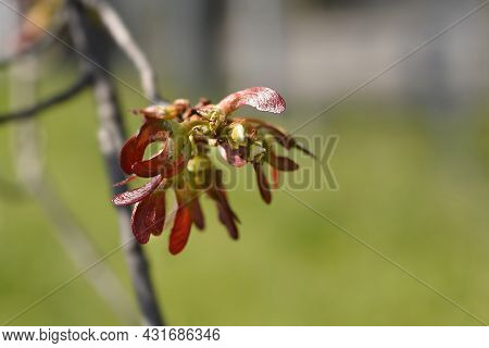 Silver Maple Branch With Juvenile Fruit - Latin Name - Acer Saccharinum