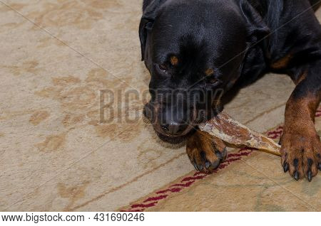 Black Dog Is Lying On Carpet And Chewing Treat. Rottweiler Female Is Biting Dried Beef Tendon. Pampe