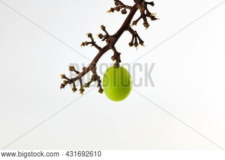 Last one remaining.  A single grape hanging form a grape vine or peduncle. Isolated on neutral white background.