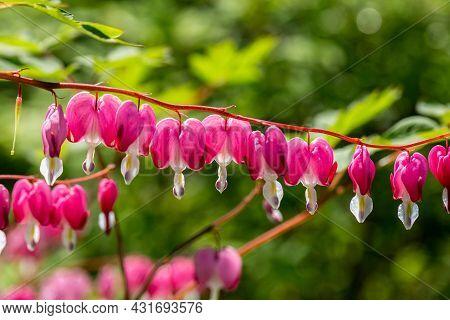 Close-up Flowers Of A Bleeding Heart Dicentra Spectabils