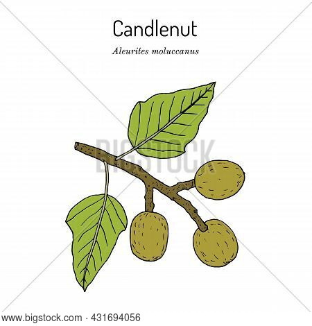 Kukui Nut Aleurites Moluccanus , Or Candlenut, Indian Walnut, Medicinal Plant. Hand Drawn Botanical