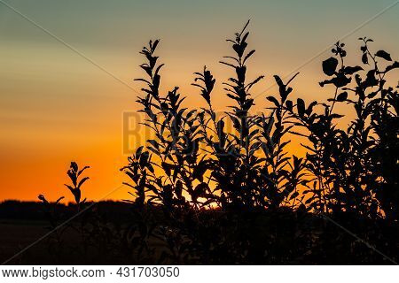 Sunrise Over The Meadow. Orange Sunset In The Field With Grass Silhouette. Close Up Low Angle Photo