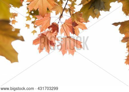 Maple Leaves On A Twig In Autumn. Red Maple Leaves.