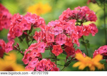 Colorful Floral Phlox Background. Creeping Phlox Phlox Subulata , Also Known As The Moss Phlox.. Hig