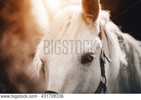 Portrait Of A Beautiful White Horse With A Halter On Its Muzzle And A White Mane, Which Is Illuminat