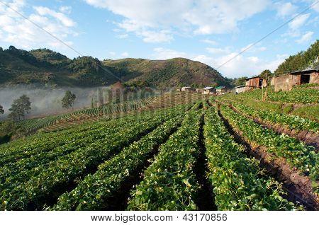 Beautiful Strawberry Farm