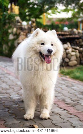 White Samoyed Dog (husky, Bjelkier, Sammy, Laika, Spitz) Stands On A Park Path. Playful Outdoor Pet.