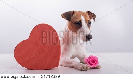 Jack Russell Terrier Sits Next To A Heart-shaped Box And A Bouquet Of Pink Roses. Dog On A Date