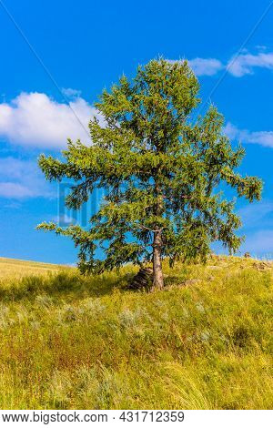 Lonely Larch Against Bright Blue Sky Background In The Summer Steppe Of Khakassia, Russia.