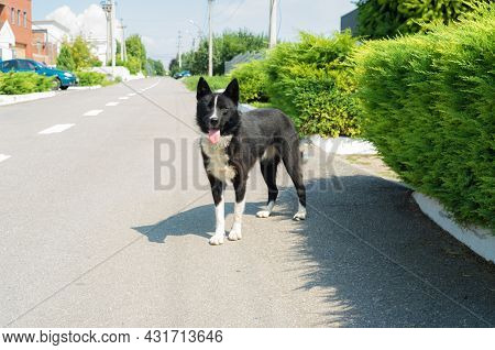 Cute Black And White Mixed Breed Of Husky Dog Standing On Asphalt Road On The Ukrainian Village Stre