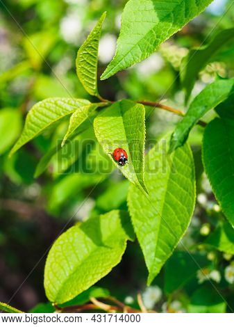 Little Ladybug On A Leaf Of Bird Cherry In Spring