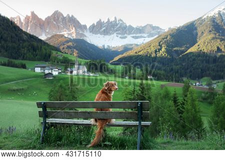 The Dog Sits On A Bench And Looks At The Dolomites. Nova Scotia Duck Tolling Retriever In Nature.