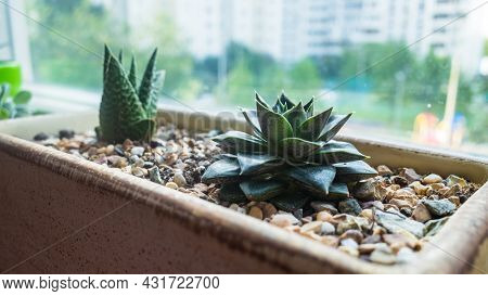 A Small Echeveria And Haworthia Grow In A Flowerpot On The Windowsill. A Beautiful Green-brown House